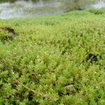 Den invasiva sydfyrlingen (vattenkrassula). Foto: Benjamin Blondel