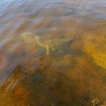 Braxenlek. Några timmar efter denna bild togs lektes det för fullt runt om i sjön. Foto: Jimmy Lindahl