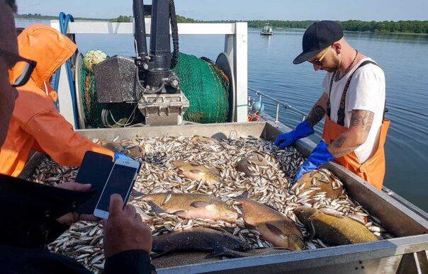 Sortering av trålfångst vid reduktionsfiske i Västra Ringsjön. Foto: Richard Nilsson