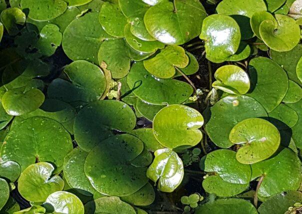 Dyblad från Östra Ringsjön, kan förväxlas med den invasiva arten sjögull. Foto: Richard Nilsson